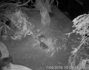 zoocam stick nest rats
